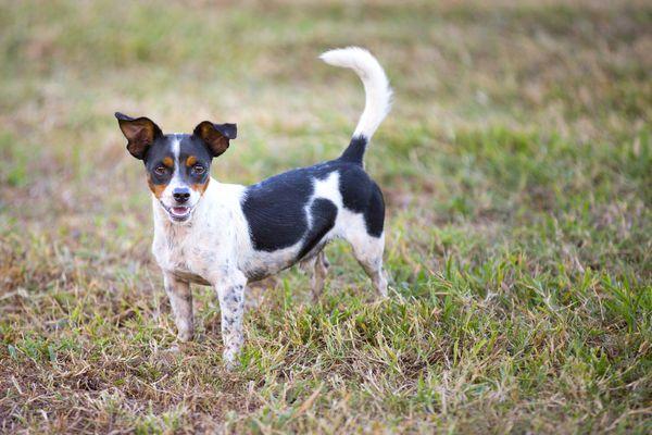 A rat terrier outdoors.