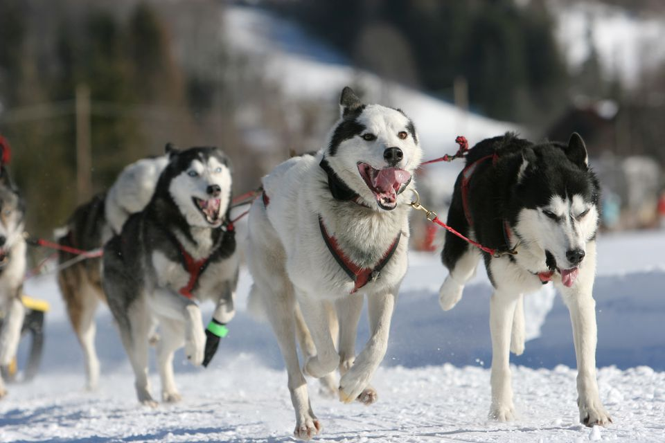 Alaskan sled dogs running in a harness