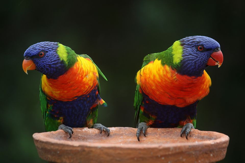 Rainbow lorikeets on a platform