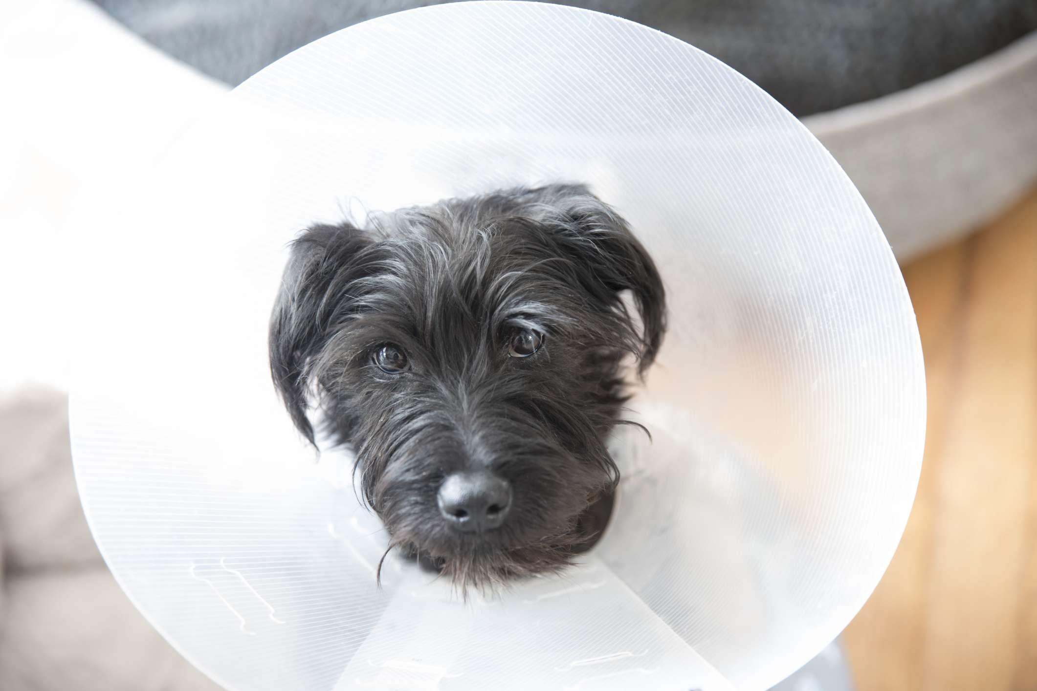 Small dog wearing ecollar