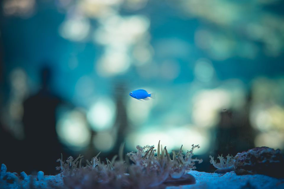 Blue fish swimming in an aquarium