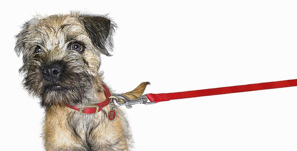 Border Terrier on a Leash