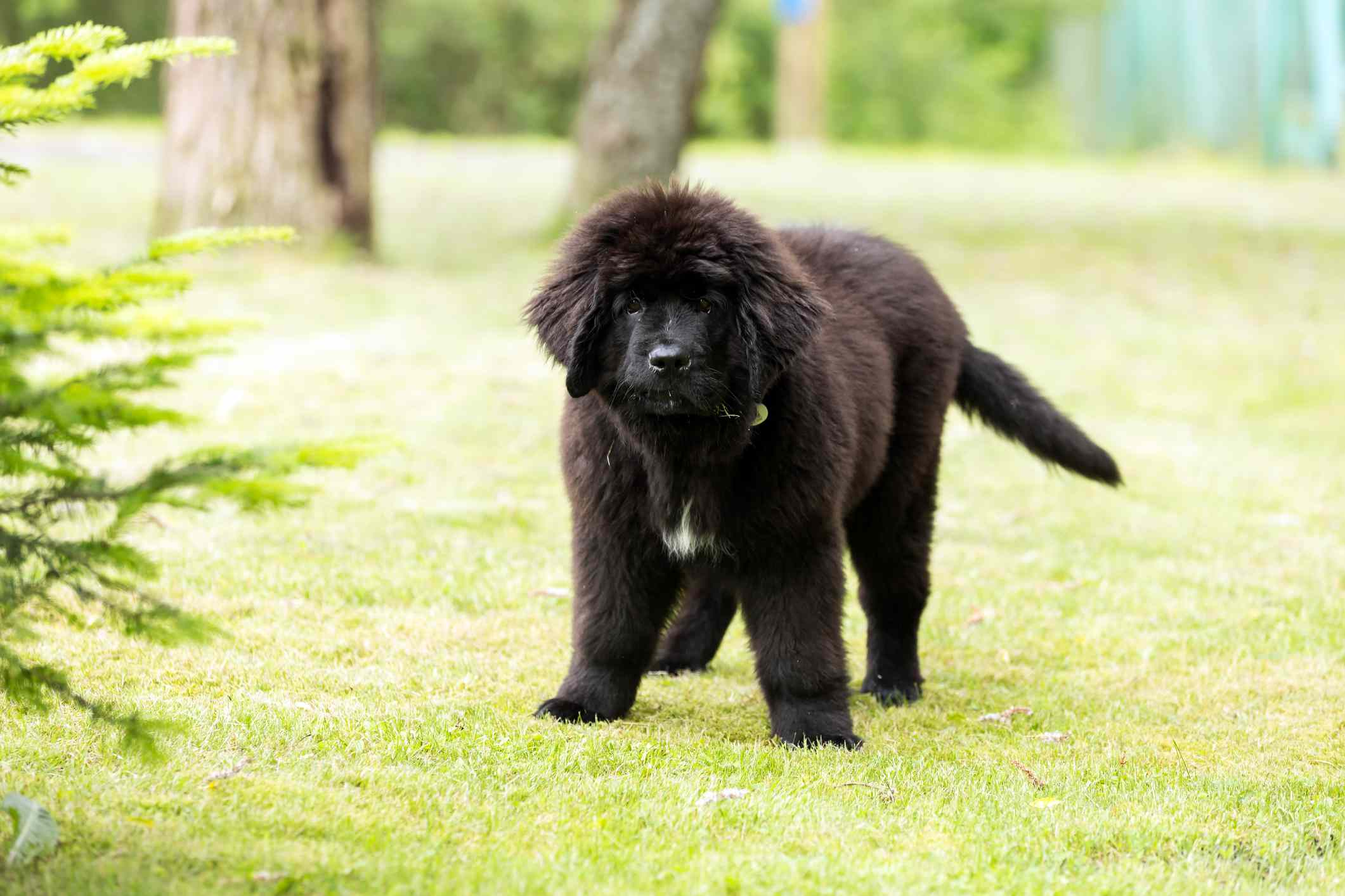 Newfoundland puppy peeing granny