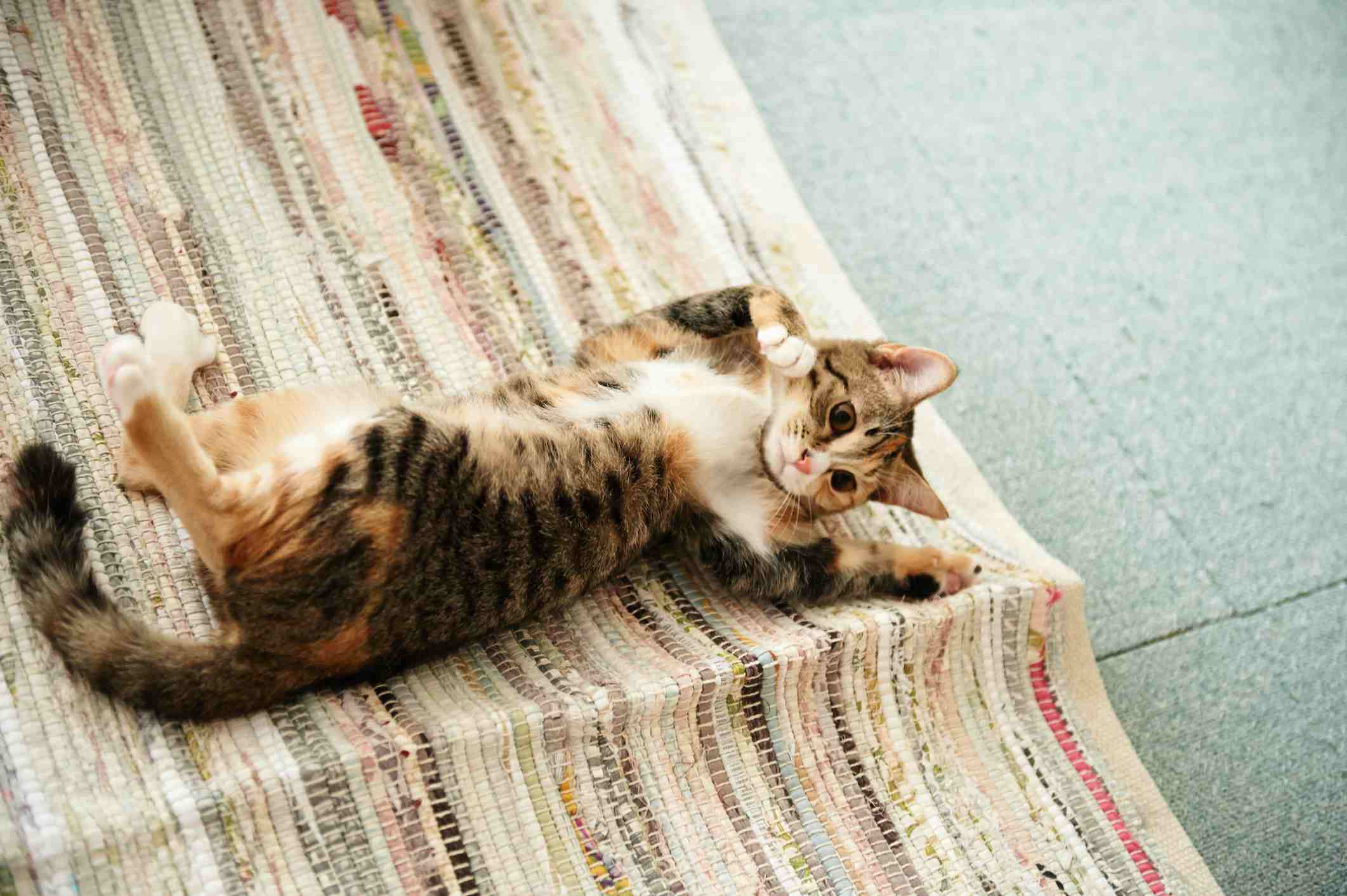 Calico cat rolling on rug