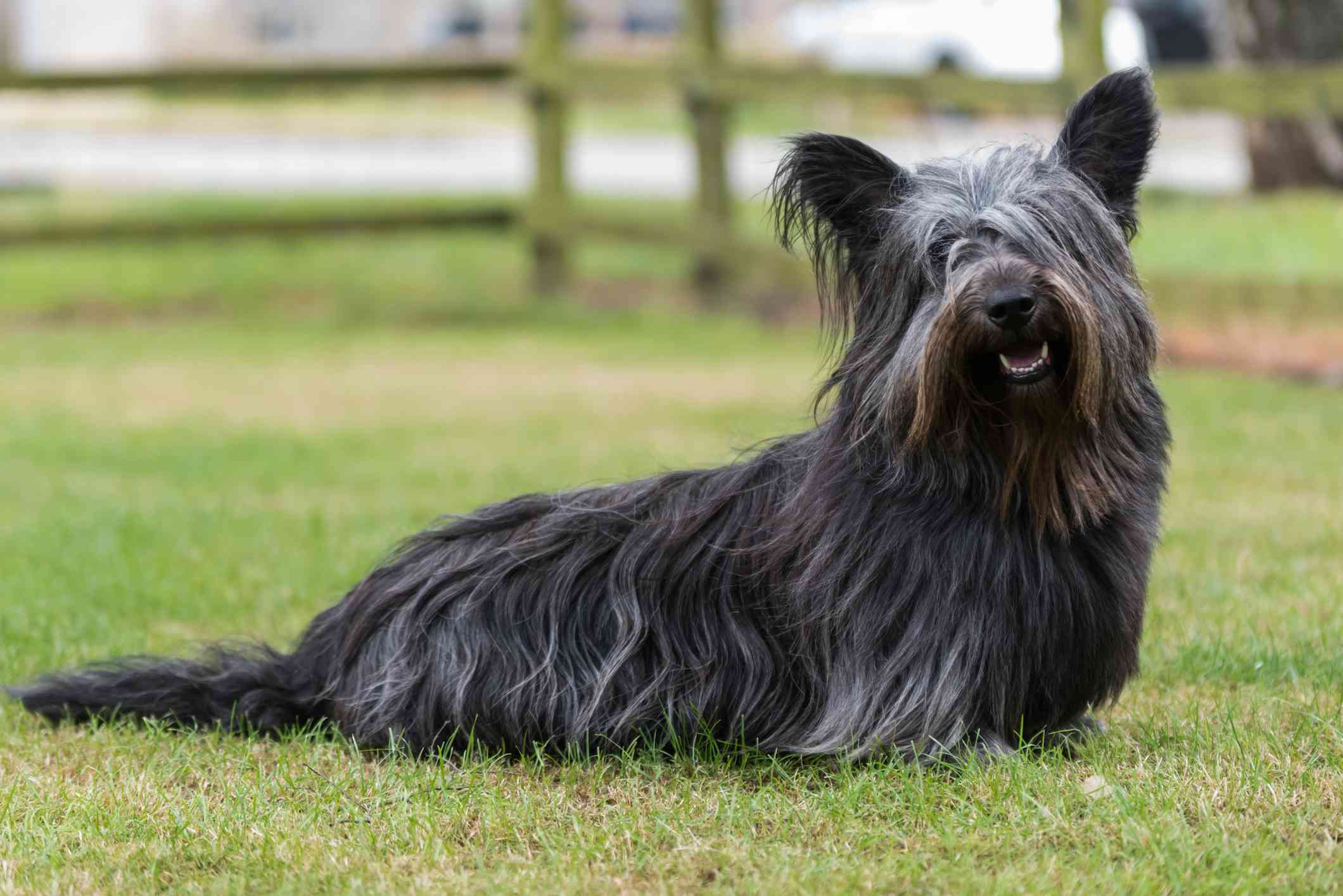 Black Skye Terrier sitting in field.
