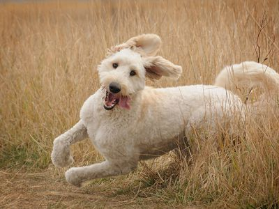 Goldendoodle: Full Profile, History, and Care