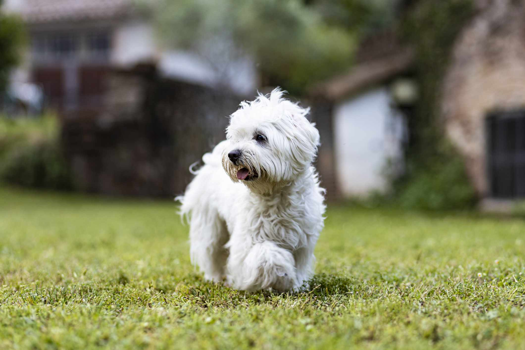 A small white dog standing outside and looking off.