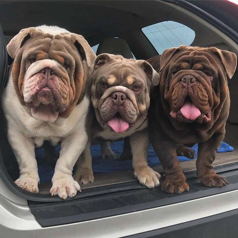 Three cute bulldogs