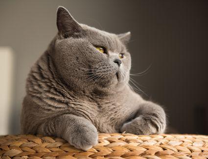 grey cat looking out toward the sun