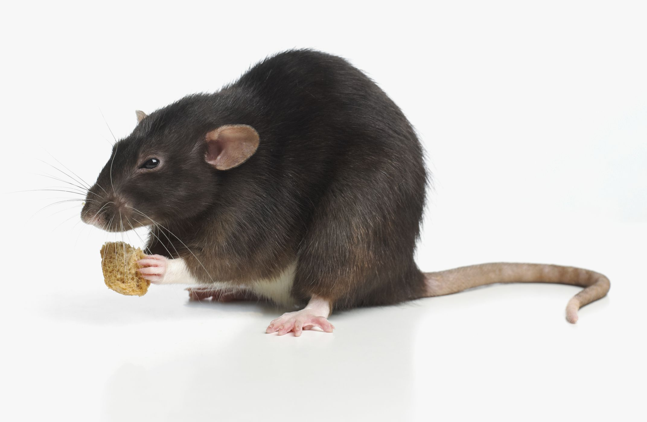 Foods For Pet Rats