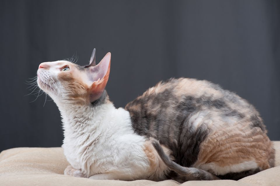 Calico Cornish Rex cat sitting on bed