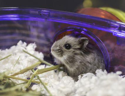 Tiny gray hamster
