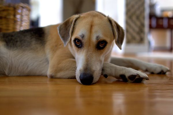 dog whining laying on floor