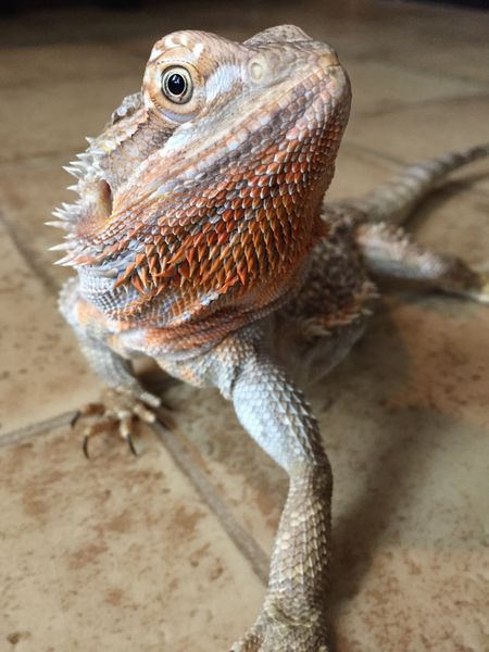 Pros And Cons Of Crickets For Bearded Dragons