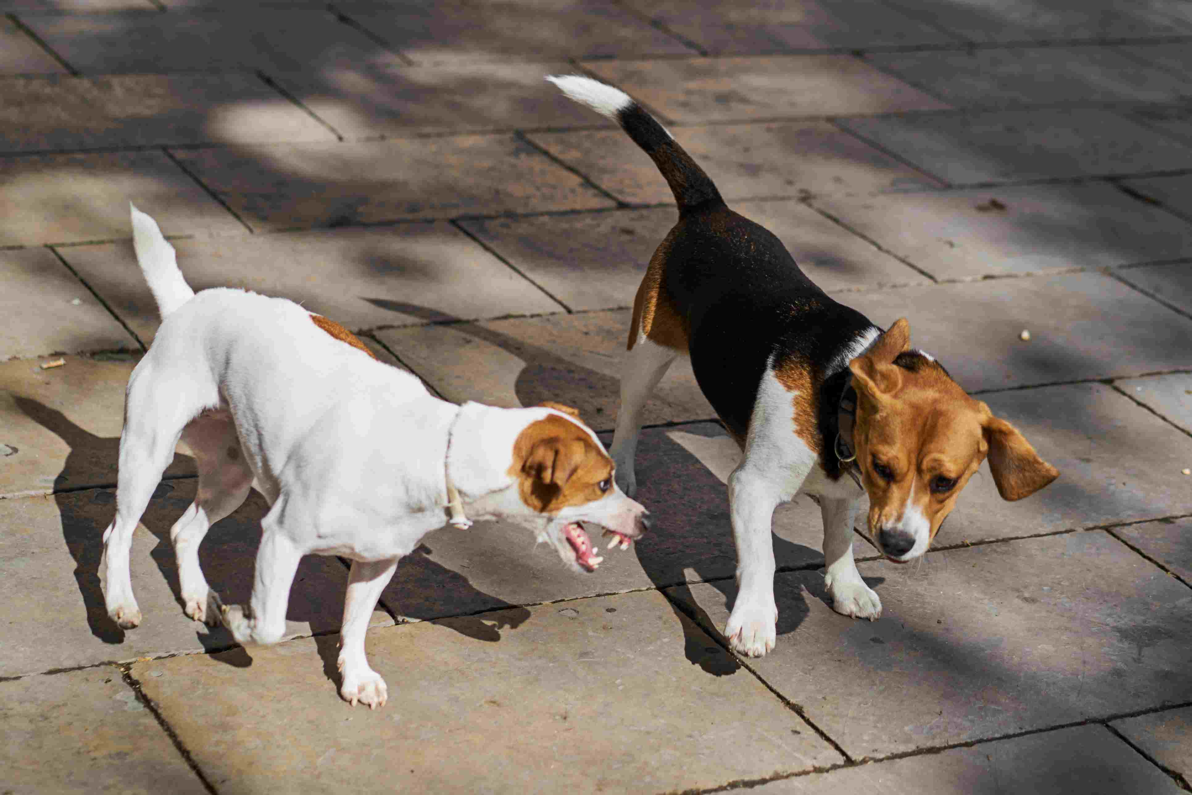 Beagle playing with a Jack Russell