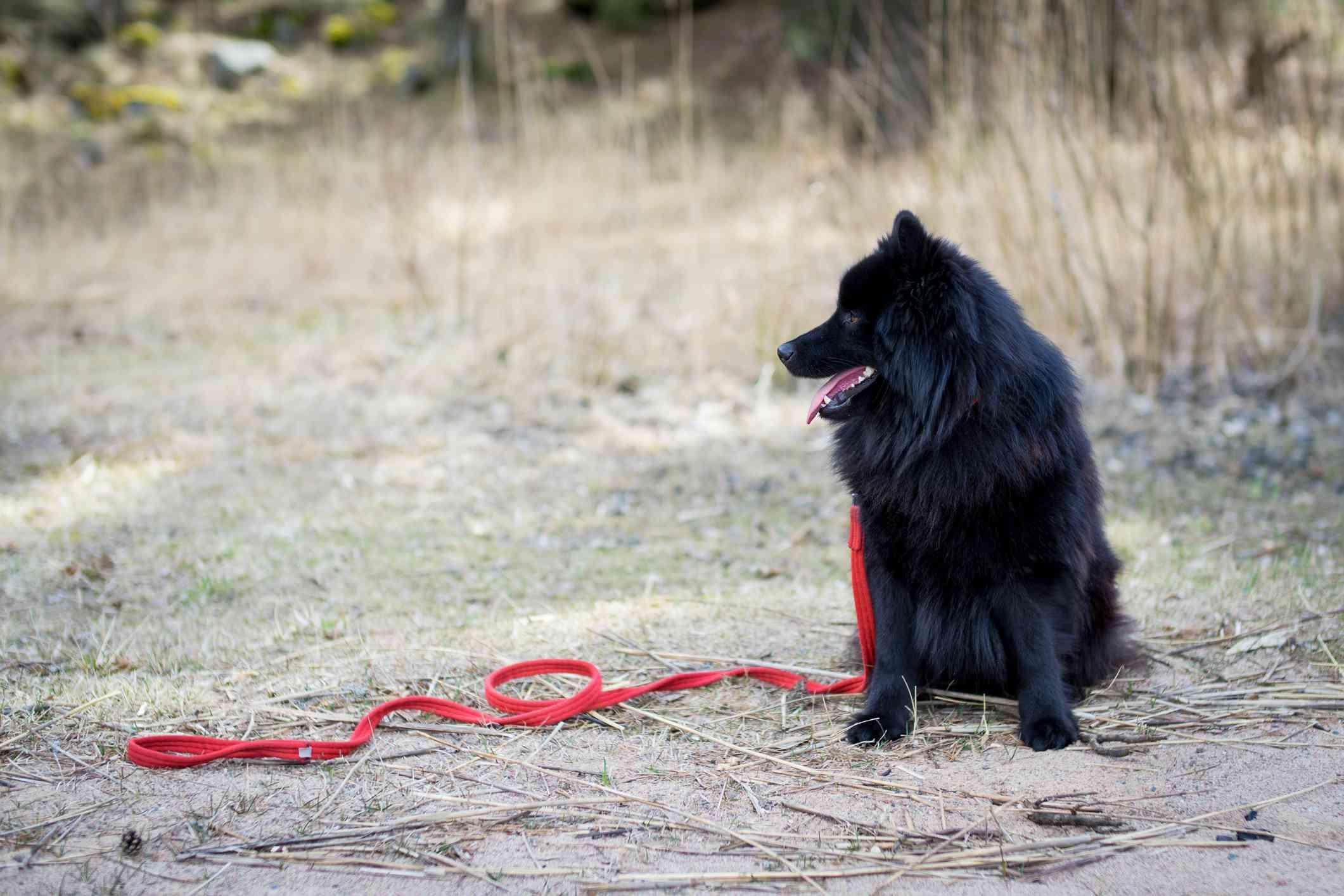 Swedish lapphund sitting with leash