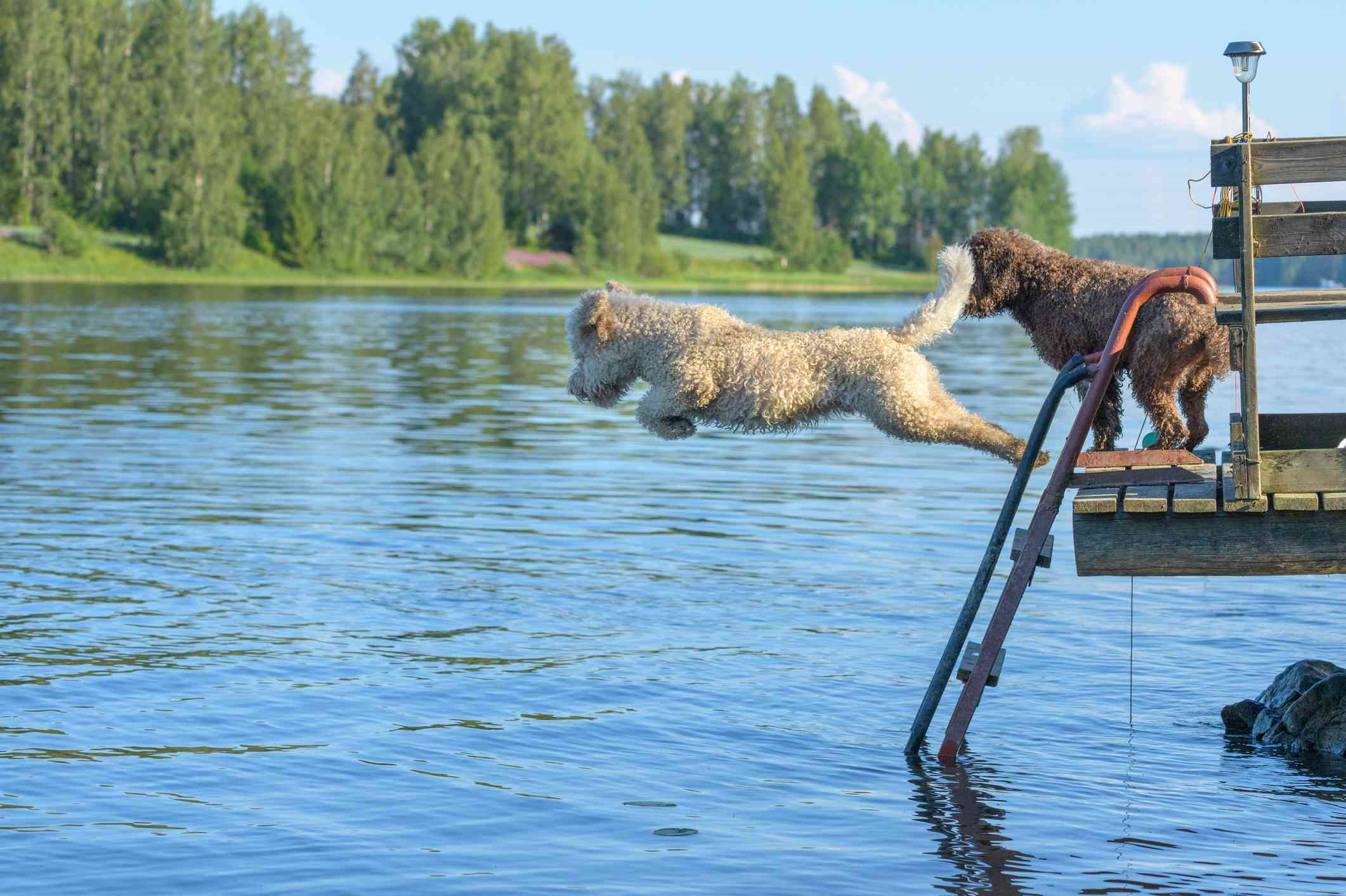 Lagotto Romagnolos diving into water