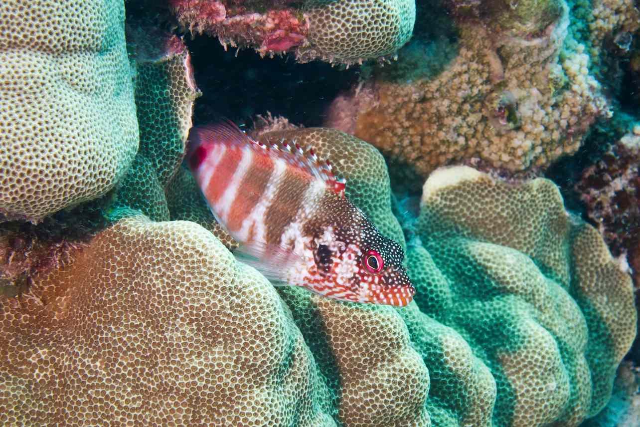 Redbar Hawkfish on coral