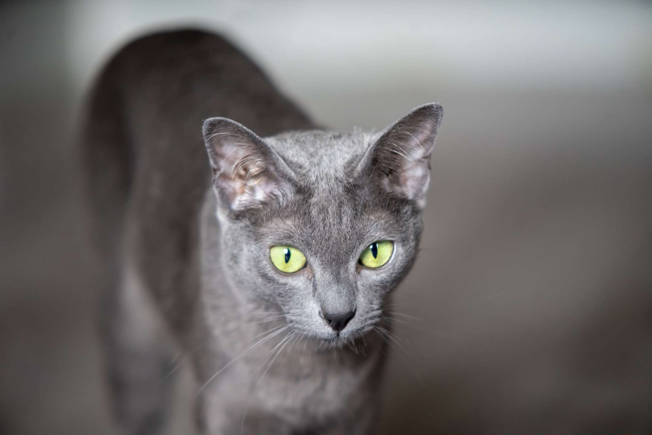 A Korat cat looking into the distance.