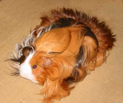Silkie Guinea Pig Photo - Two Harbours