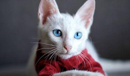 A portrait of an albino kitten.