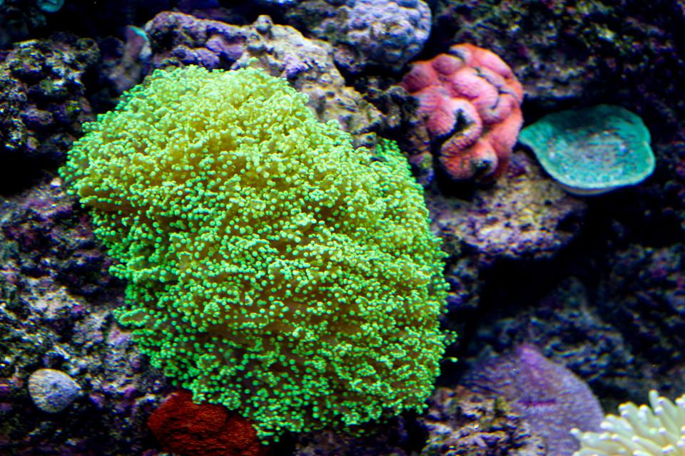 Green frogspawn coral