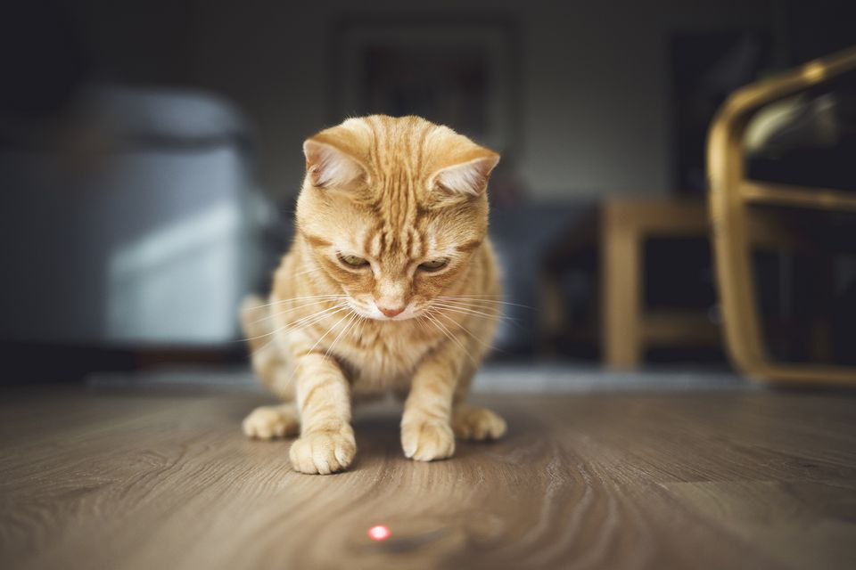Gato del jengibre que comienza en punto rojo del laser en el piso de madera.