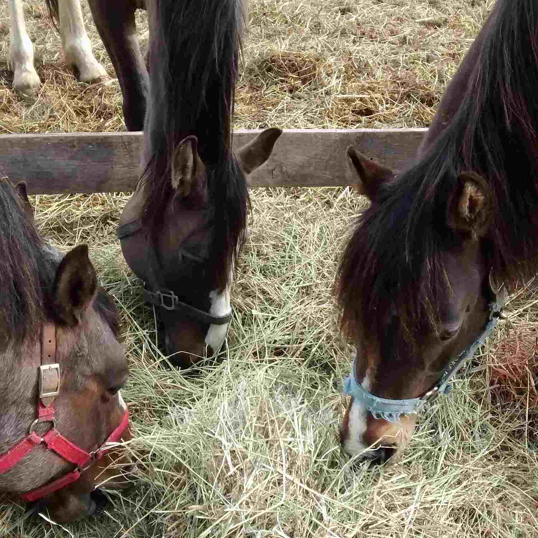 Three horses eating hay.