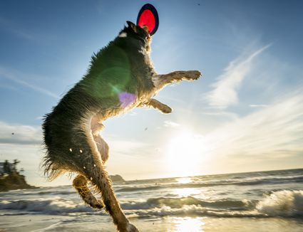 A dog catching a frisbee on a beach