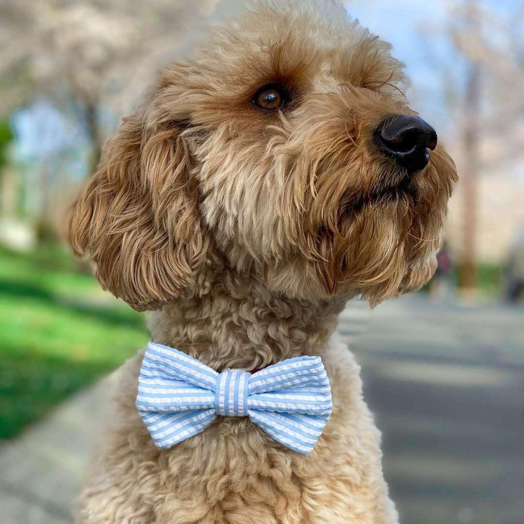 Dog in bowtie; minidoodlebentley Instagram
