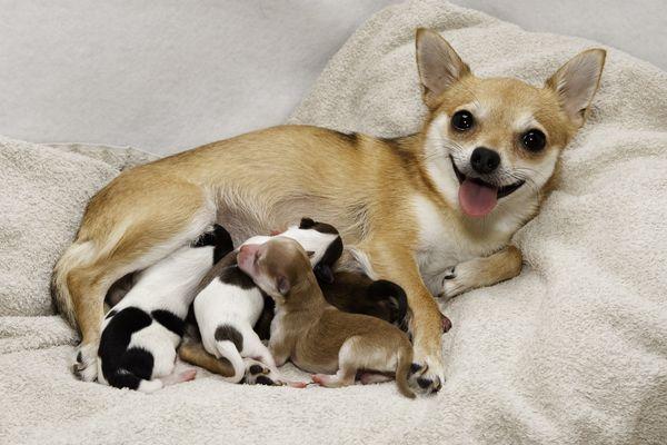 eclampsia dog nursing puppies