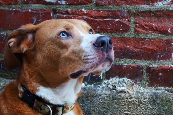 Dog in front of brick wall staring.