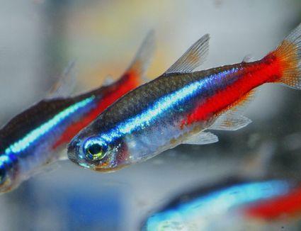 Close-Up Of Colorful Guppy Fish At Aquarium