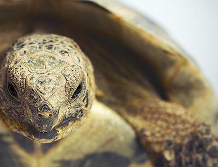 Hermann S Tortoise Testudo Hermanni Exotic Pets