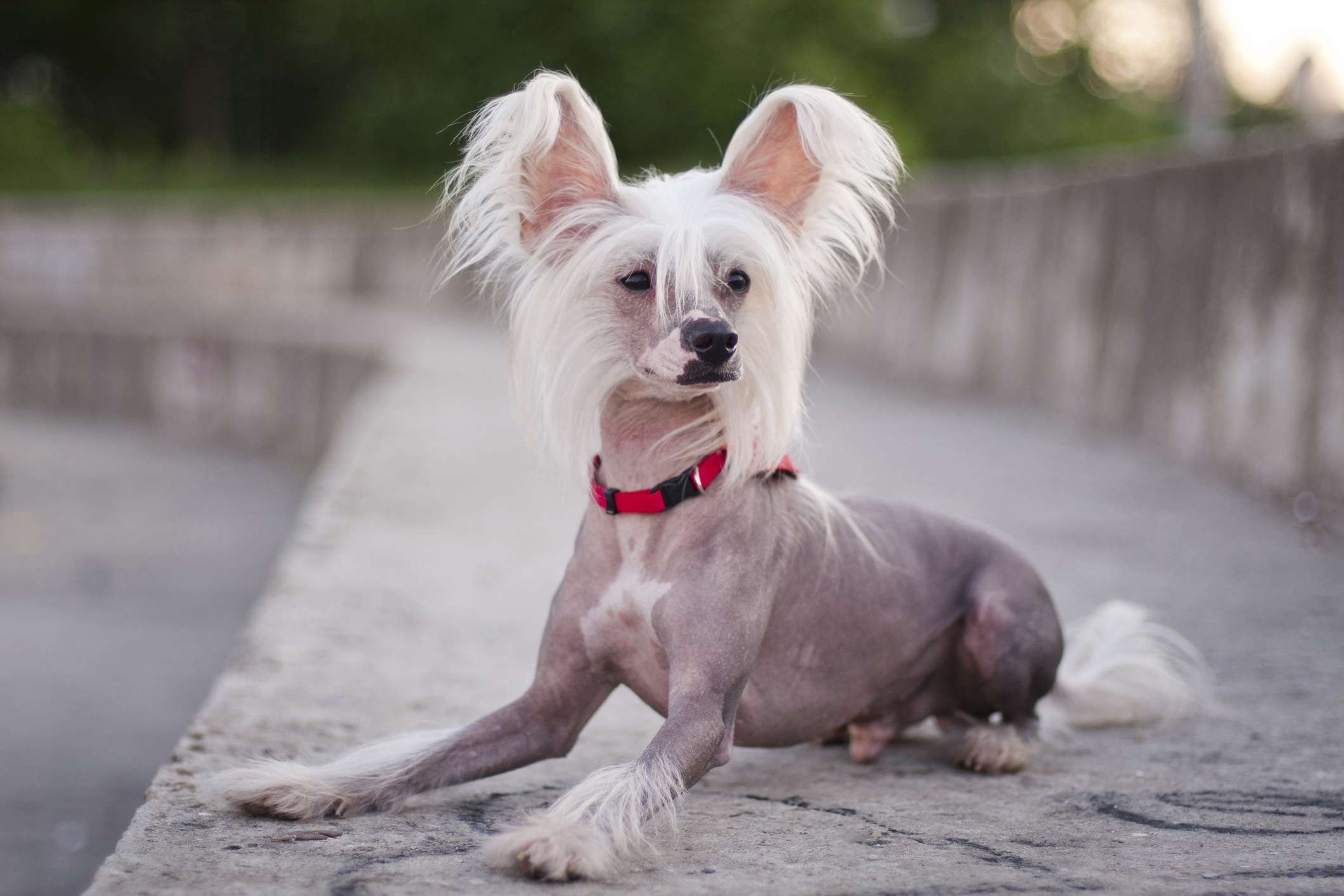 A partially hairless dog with tufts of hair on its head laying down outside.