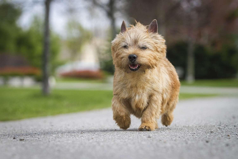 norwich terrier running on pavement