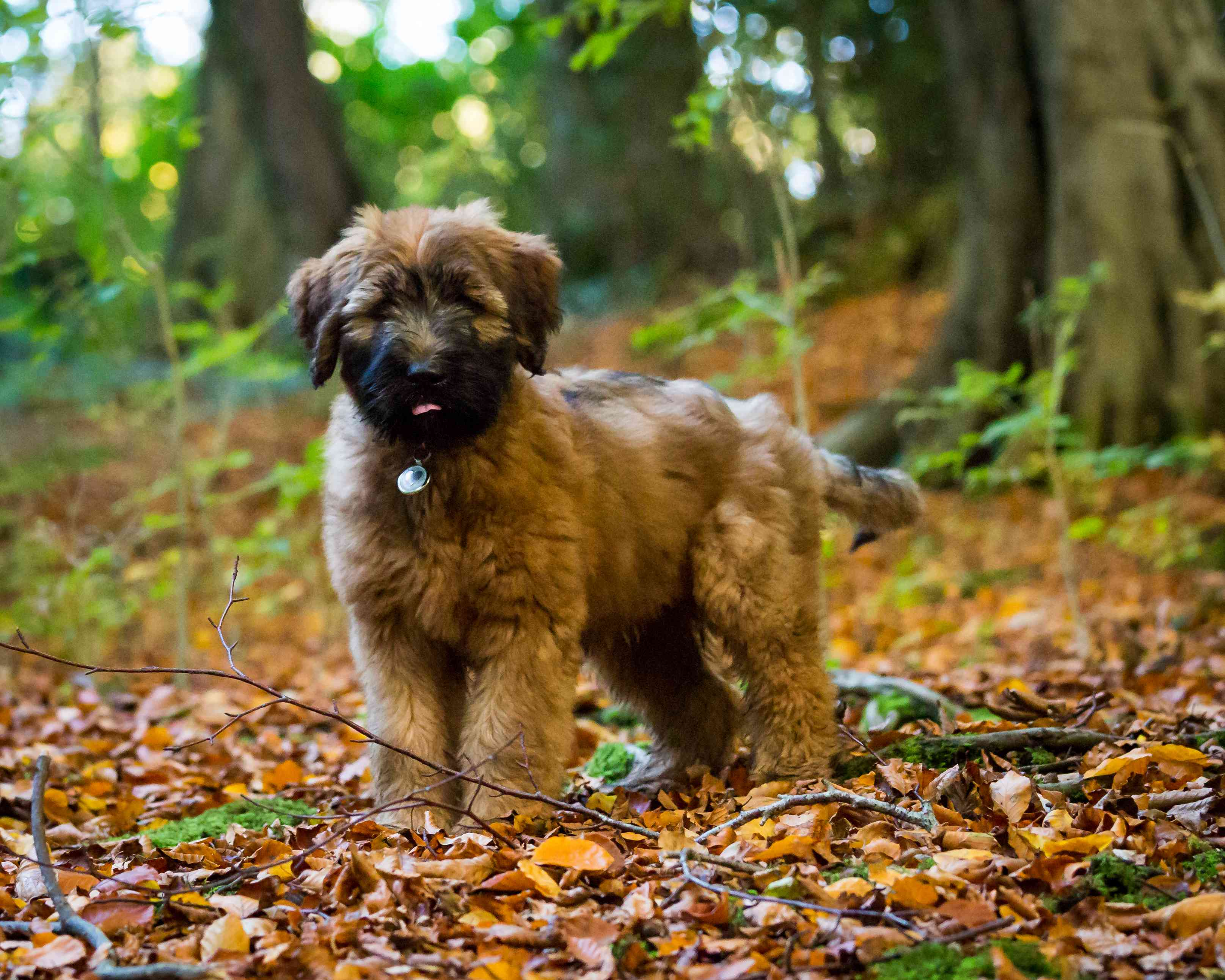 Black and brown Briard puppy in forest.