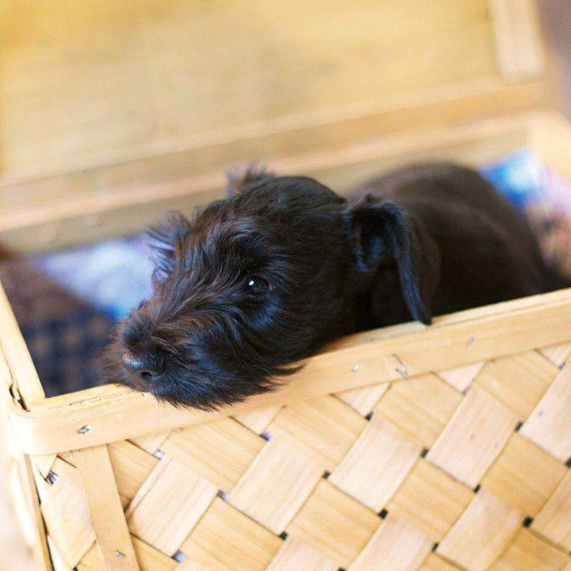 Cesky terrier puppy in wooden box