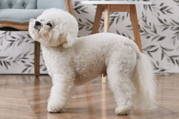 Bichon Frise standing indoors in profile