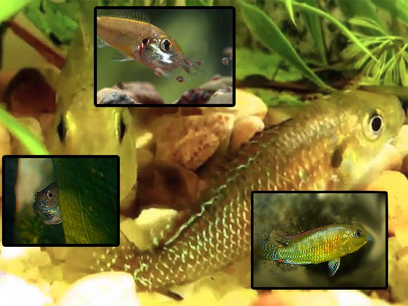 Dwarf Egyptian Mouthbreeder Fish Breed Profile