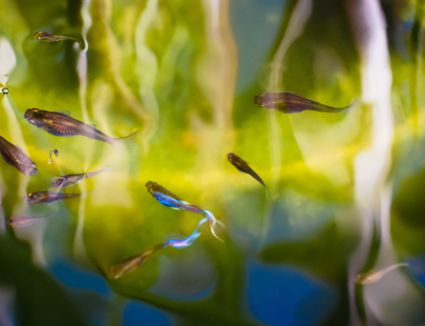Fish, Guppies, in pond