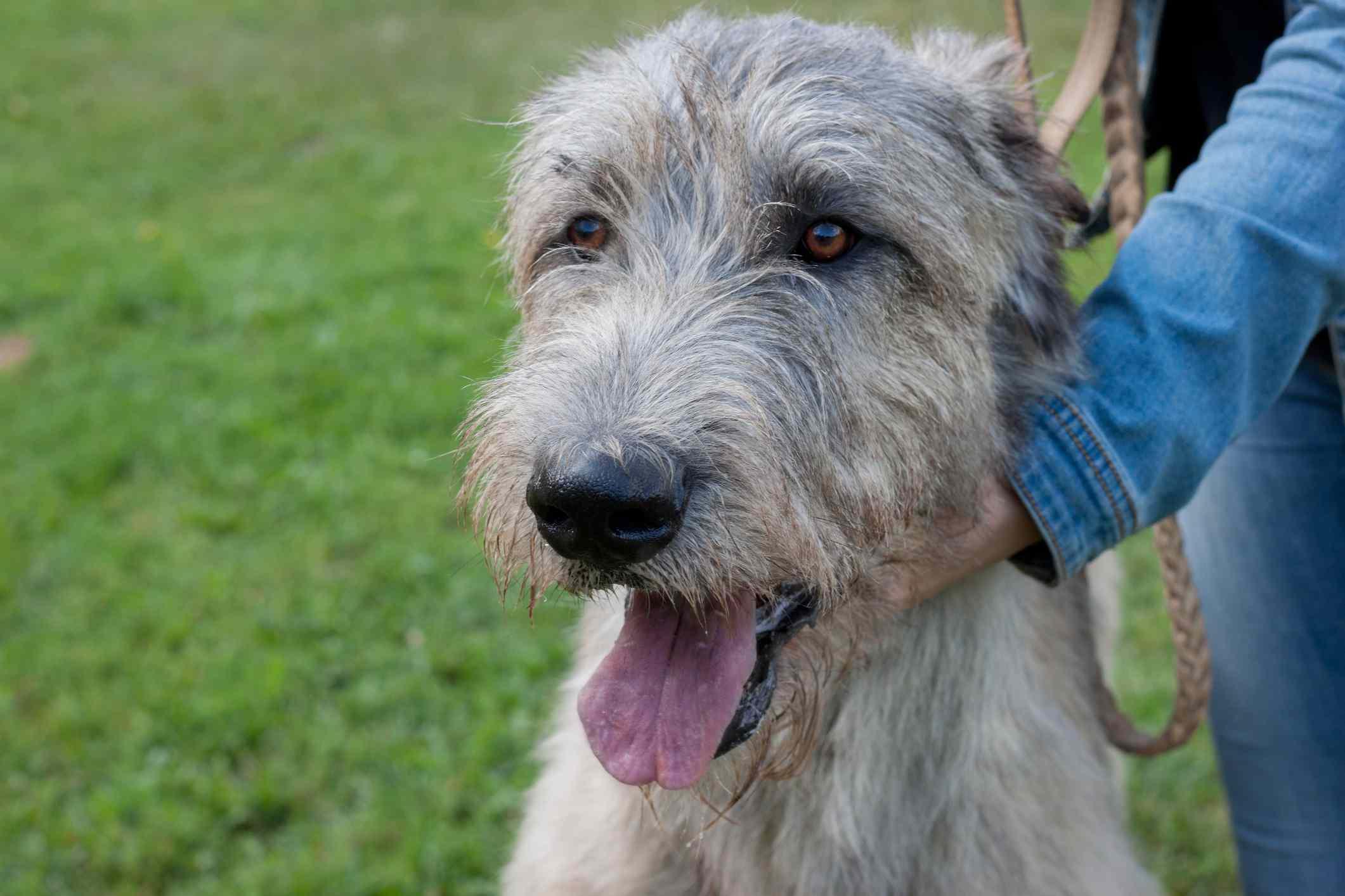 Retrato de perro de raza grande perro lobo irlandés