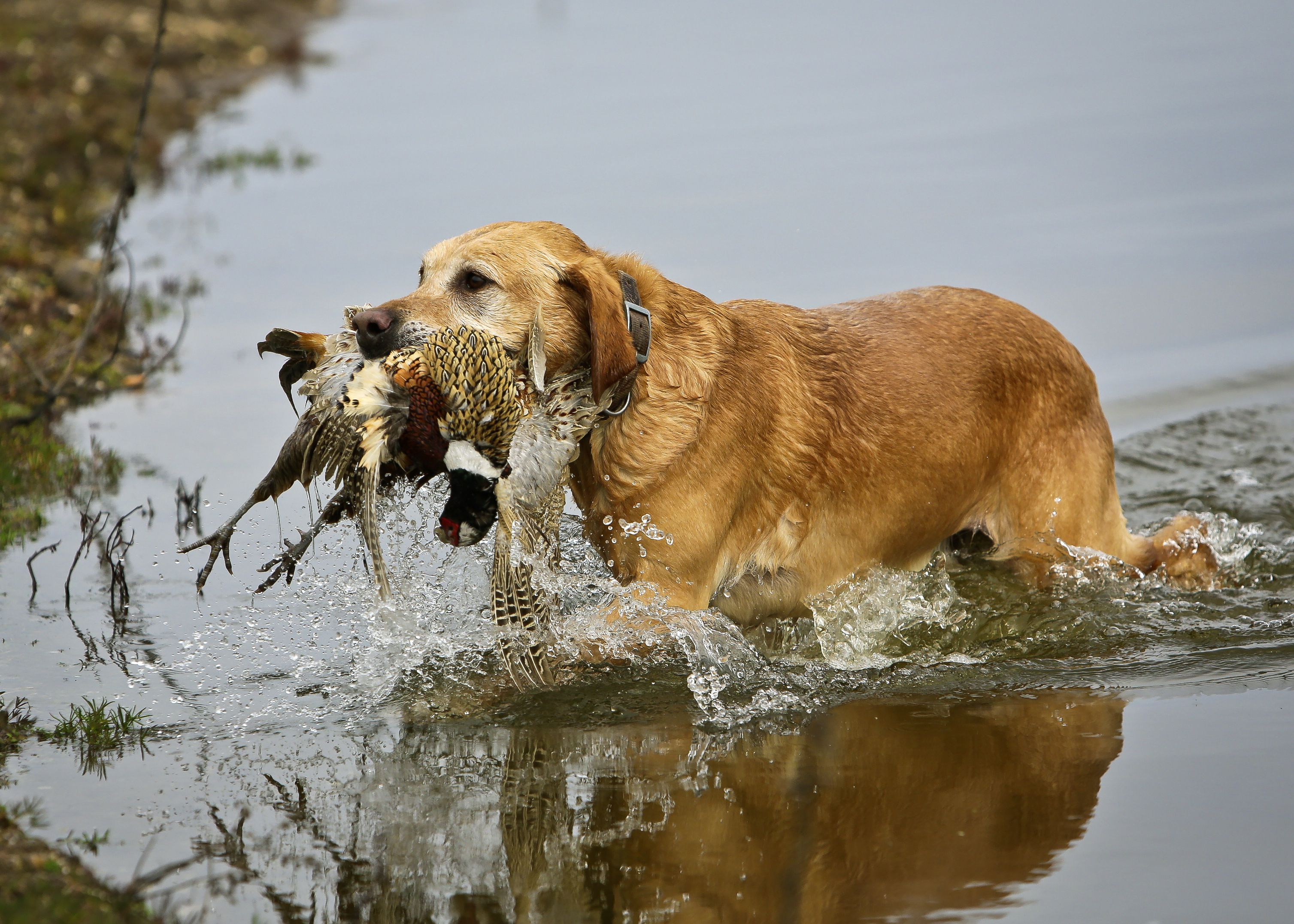 A yellow Labrador carrying a bird out of a river.
