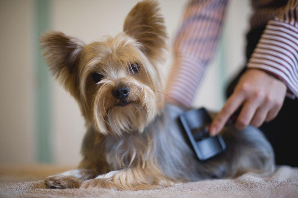 Yorkshire terrier siendo arreglado con cepillo