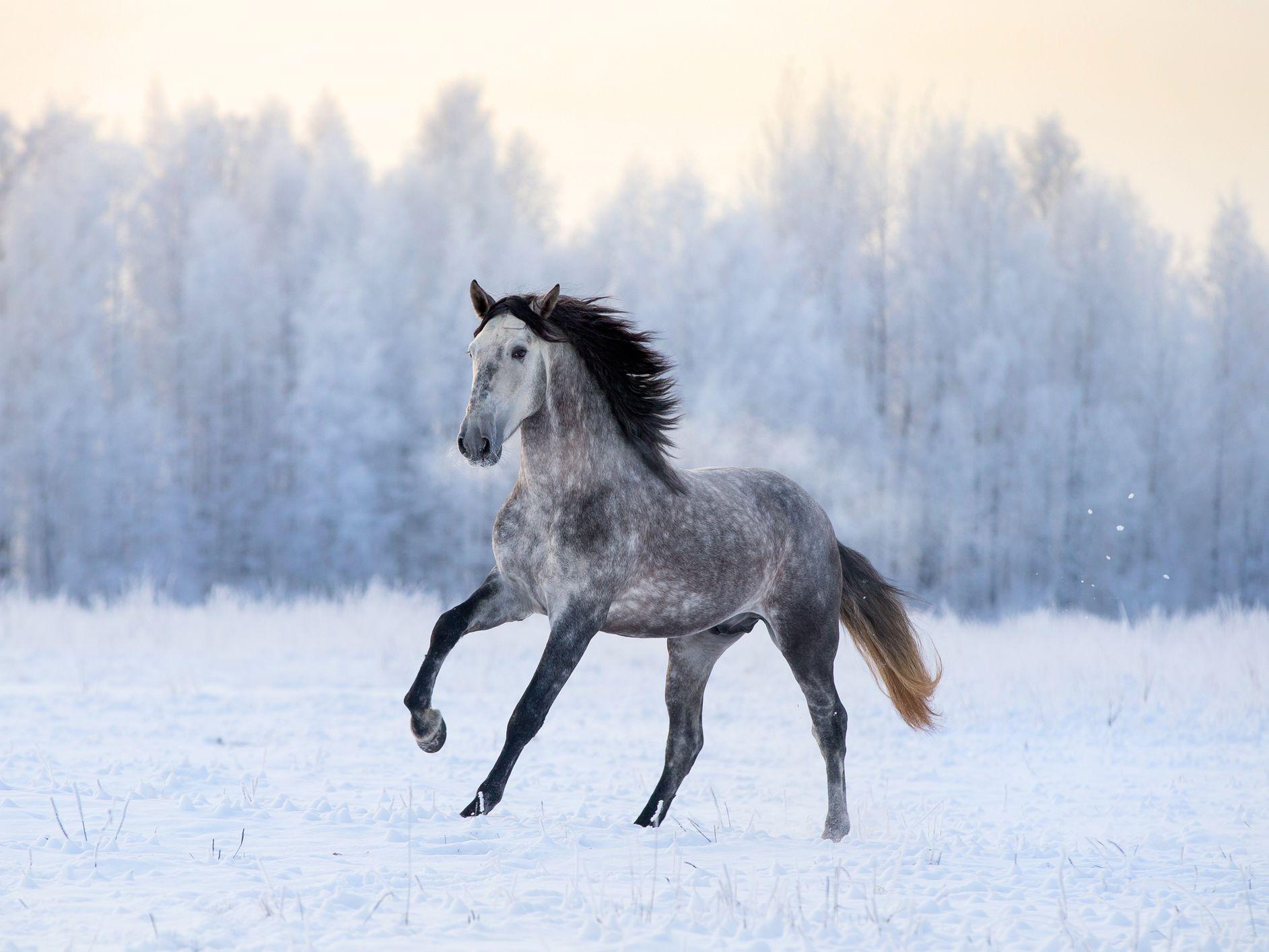 Andalusian Horse Breed Profile