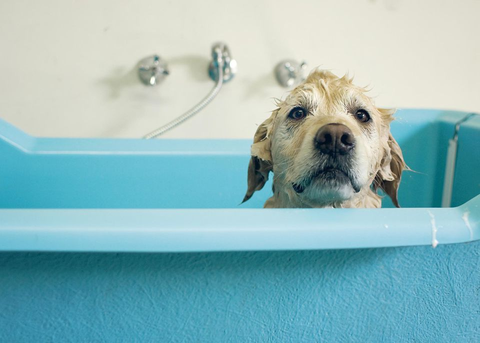 Golden retriever dog in bath