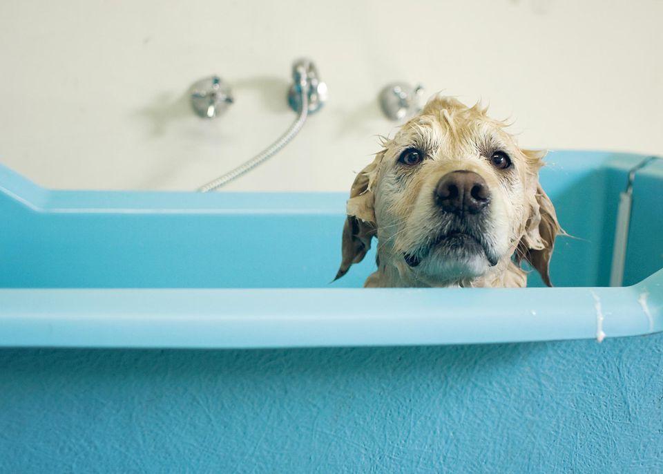 Perro Golden retriever en baño
