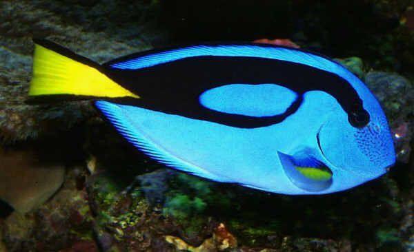 John Di Genua's Pacific Blue Tang