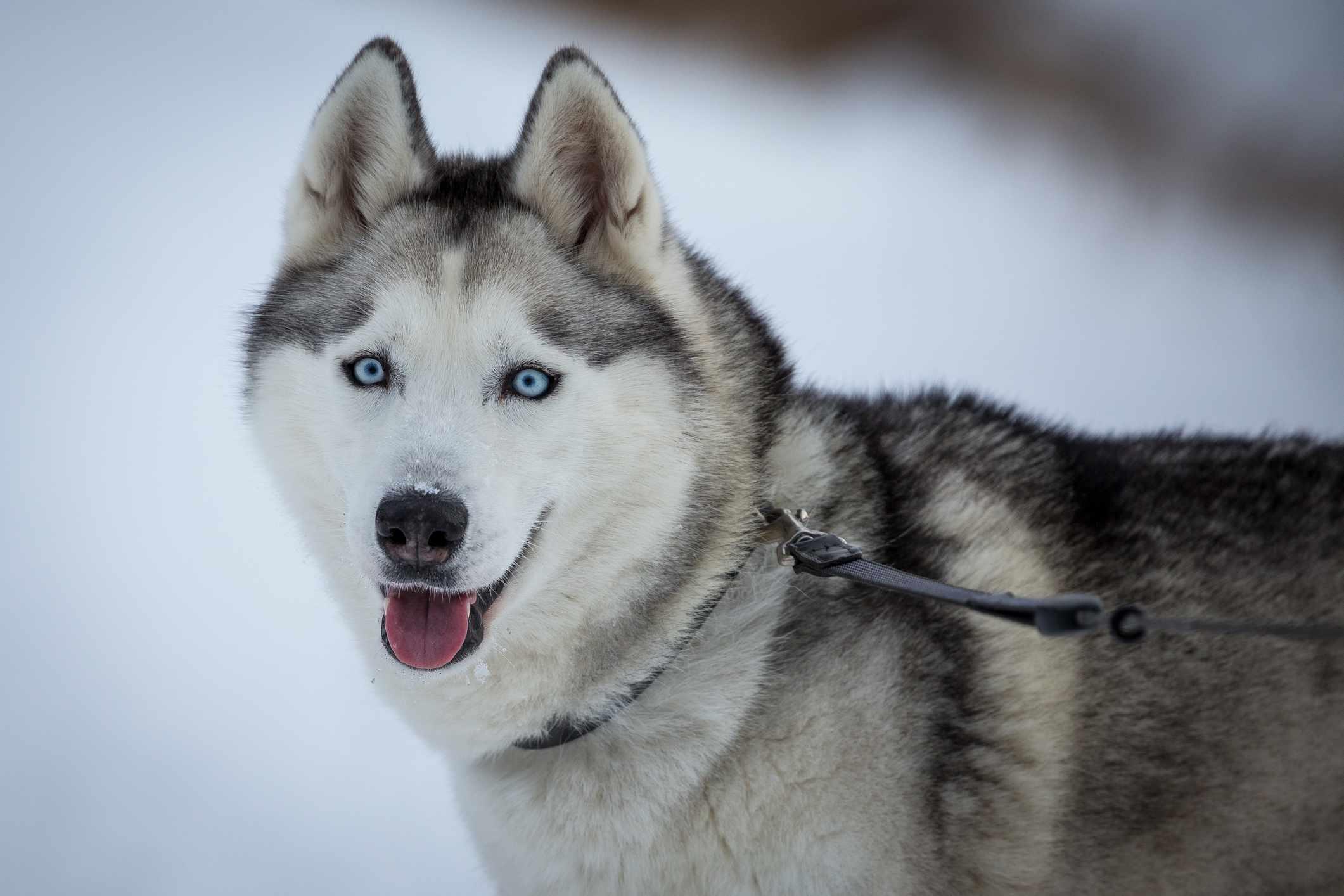 Siberian husky spitz dog breed