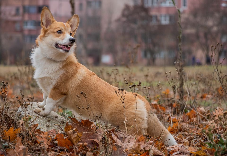 Pembroke Welsh Corgi standing on a log in autumn leaves